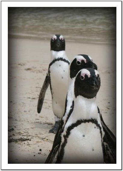 Little works jackass penguin for Wildlife christmas cards 2016