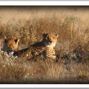 WK - Cheetahs