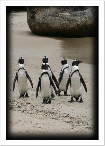 Little works jackass penguins for Wildlife christmas cards 2016