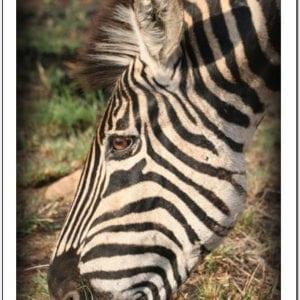 WC - Zebra