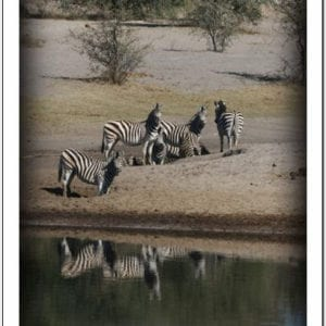 WF - Zebra at Waterhole