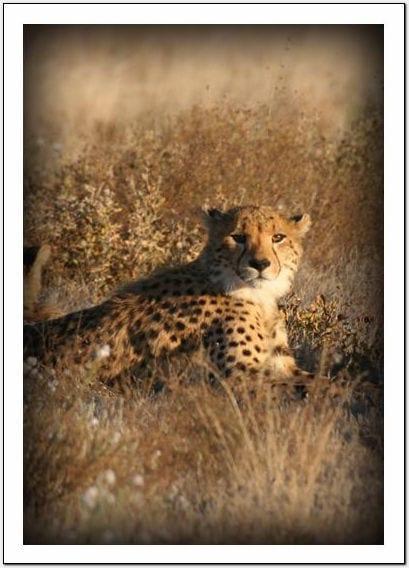 WG - Cheetah