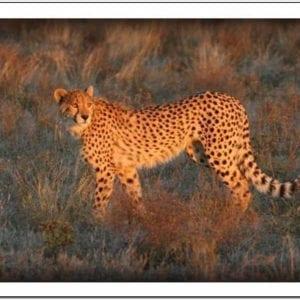 WI - Cheetah