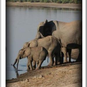 WZ - Elephants