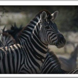WL - Zebra