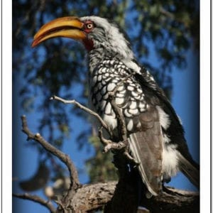 WN - Yellow-billed Hornbill