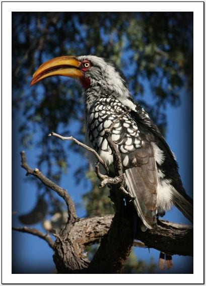 WN - Yellow-billed Hornbill