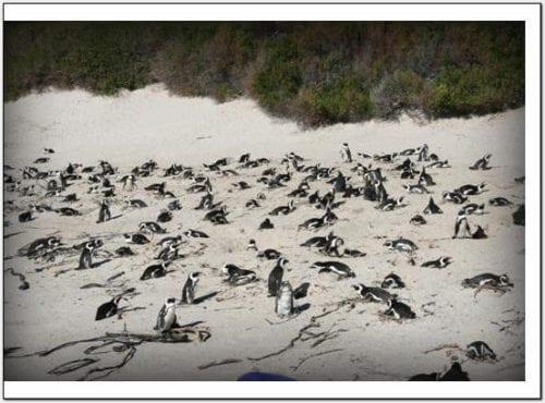 WP - Jackass Penguins on Beach