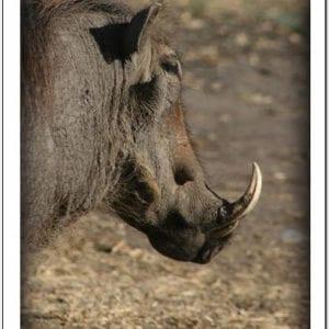WR - Warthog