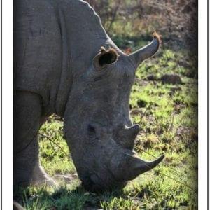 WS - Rhino