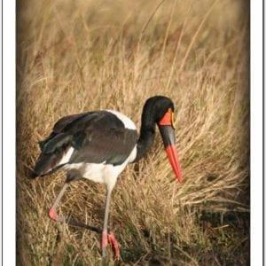 WT - Saddle-billed Stork